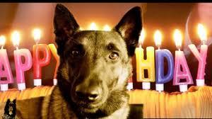 belgian shepherd kentucky happy birthday malinois youtube