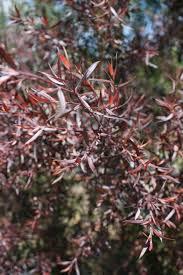 leptospermum coppersheen shiny tea tree evergreen icon trees