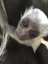 colobus monkey zooborns