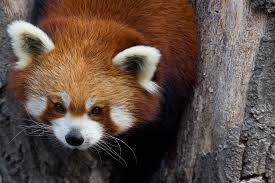 red panda pictures that make you say