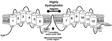 human atp binding cassette transporter 1 abc1 genomic