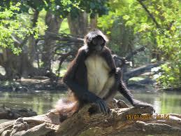 file monkey in tree i jpg wikimedia commons