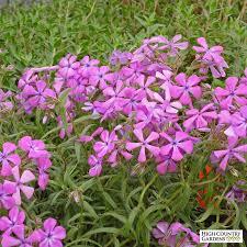phlox flower phlox villosissima prairie phlox high country gardens