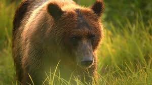 Animal Planet Documentary Grizzly Bears Full Documentaries - cameraman s wild encounter with bears in alaska