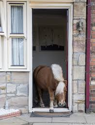 shetland pony which thinks it u0027s a dog loves sitting in front of