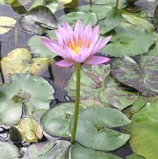 Tropical Aquatic Plants - pink tropical water lily u2013 water garden live pond plant aquarium