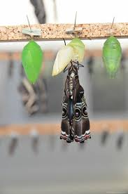 butterfly coming out of cocoon free image on 4 free photos