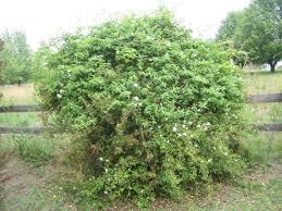 Decorative Shrubs Wild Bushes Google Search Bushes Shrubs And Plants