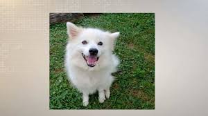 american eskimo dog small meet mimi and learn about upcoming events wkow 27 madison wi