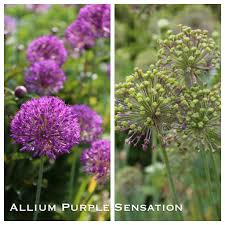 another reason to ornamental alliums seed heads longfield