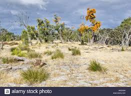 western australian christmas trees nuytsia floribunda growing in