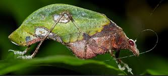 animals true facts about the leaf katydid by zefrank