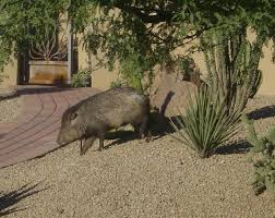 Arizona wild animals images Desert animals of scottsdale az the javelina scottsdale az real jpg