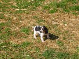 bluetick coonhound puppies for sale in louisiana black and tan coonhound puppies for sale