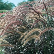 graceful grasses purple grass pennisetum setaceum