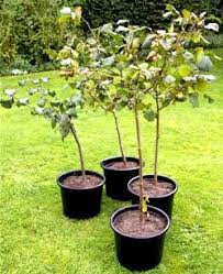 is it ok to plant a tree in august godolphin tree service