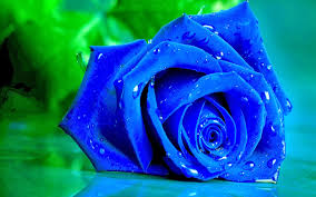 blue roses blue roses wallpapers puspa wallpapers