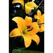 chill out oriental lily 2 bulbs 16 18 cm huge flowers 4 99