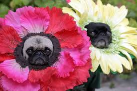 pug halloween costume for baby these lonely dogs have to tuck themselves into bed and it u0027s