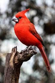 vermilion cardinal cardinalis phoeniceus on a trunk the