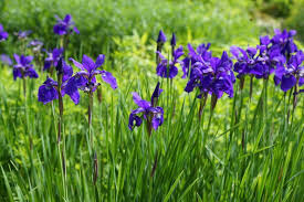 how to grow irises new england today