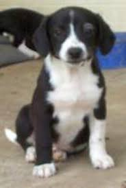 bluetick coonhound lab mix puppies for sale save a dog inc