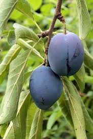 Prune Fruit Trees Hungry Cravings Italian Prune Plums
