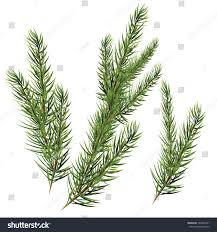 christmas tree branches spruce firtree stock vector 520307431