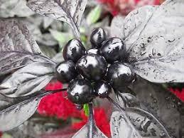 black pearl ornamental pepper 100 seeds the black