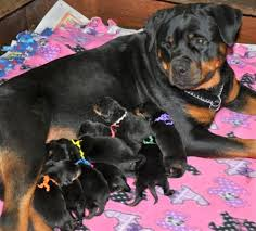 rottweiler breed craffenheim rottweilers feeding u0026 nutrition for