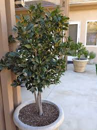 58 best herb bay laurel images on bays herb and herbs