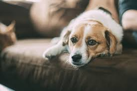 nettoyer pipi de chien sur canapé odeurs dans la maison archives samson odeurs spécialité