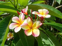plumeria flower free photo plumeria flower tropical white free image on
