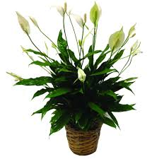 peace lilly peace plant for delivery buffalo ny lipinoga florist