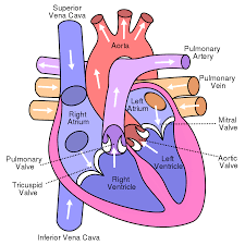 Heart External Anatomy Atrium Heart Wikipedia