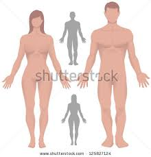 Female Anatomy Diagram For Kids Male Anatomy Stock Images Royalty Free Images U0026 Vectors