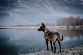 belgian shepherd ears stand up hear my battle cry sign up link inside other animals feralfront