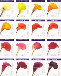 calla colors calla varieties calla lilies calla colors and bulbs
