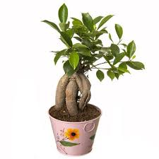 buy bonsai trees gift bonsai trees giftingnation