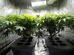 northern lights yield indoor cannabis cultivation wikipedia