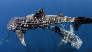 how does a whale shark protect itself reference com