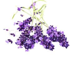 lavender flowers fresh lavender flowers white stock photo colourbox
