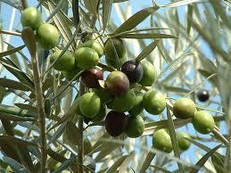 plants flowers olive tree