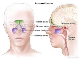 Parts Of Ethmoid Bone Paranasal Sinus And Nasal Cavity Cancer Treatment Pdq U2014patient