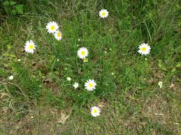 daisies pubwages