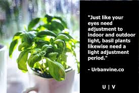 11 secrets for growing better basil you didn u0027t know until now
