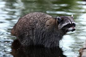 raccoon symbolism raccoon meaning spirit animal totem messages
