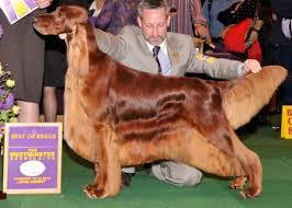 afghan hound ireland best dog show at westminster your beloved afghan hound in a dog