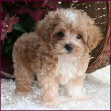 shih tzu with curly hair what kind of dog is in this photo quora