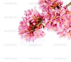 home design beautiful cherry blossoms tree isolated on white